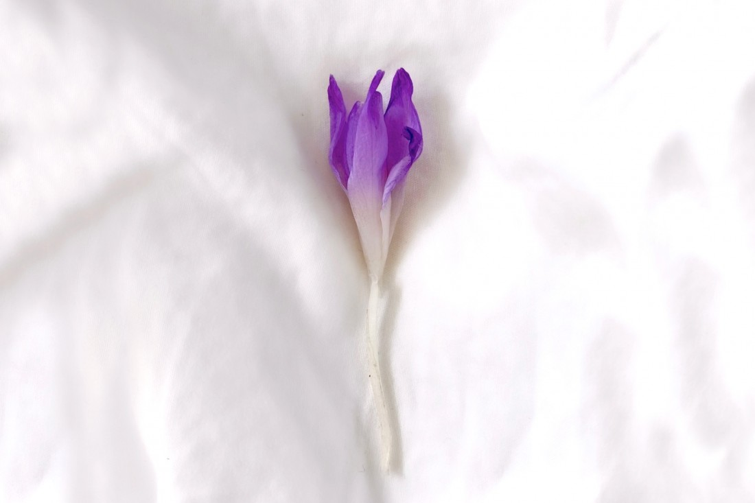 Easter Holidays. Fashion Blogger Girl by Style Blog Heartfelt Hunt. Pretty purple crocus relaxing in white bedlinen.